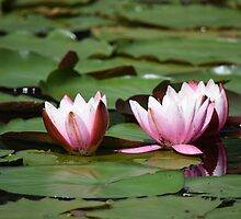 Open pink water Lilies  by Llawphotography