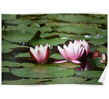 Open pink water Lilies  Poster