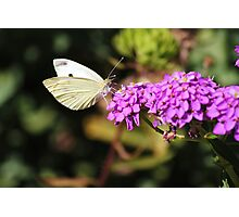 White Cabbage Butterfly Photographic Print