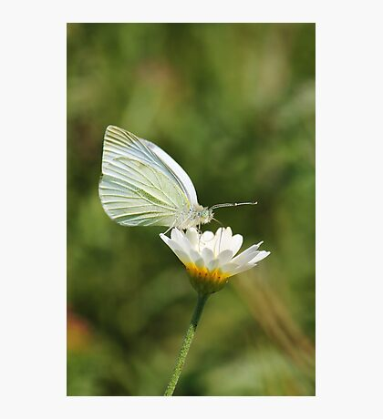 White Cabbage Butterfly II Photographic Print