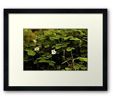 Wood Sorrel, Ness Woods, County Derry Framed Print