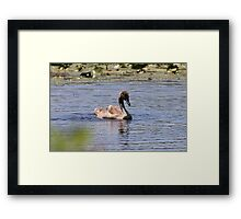 A most precious ugly duckling Framed Print