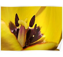 Macro red edged Picotee yellow Tulip Poster