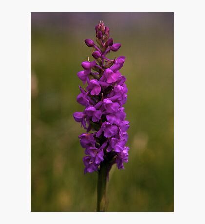 Fragrant Orchid, Dun Eochla, Inishmore Photographic Print