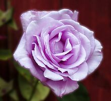 Heavenly Fragrance - Dreamy Blue Moon Rose by MidnightMelody