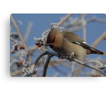 Winter visitor in the trees Canvas Print