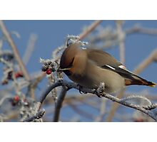 Winter visitor in the trees Photographic Print