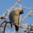 Waxwing in the bushes by JanSmithPics