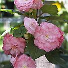 Pretty Pink Potted Begonias  by Sandra Foster
