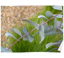 Cranbourne Botanical gardens - Eucalyptus Poster