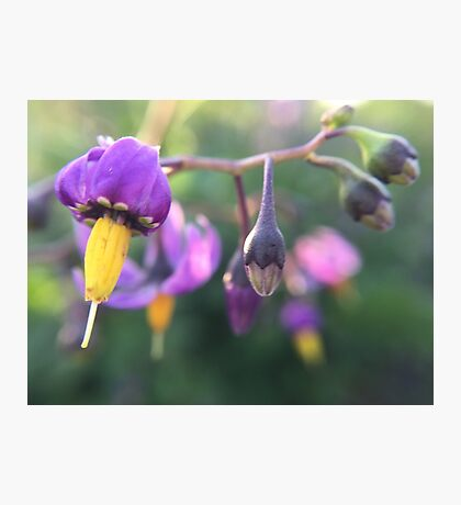 Purple and Yellow Flower Photographic Print