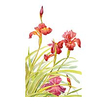 Red iris Photographic Print