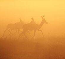 Springbok - African Wildlife Background - Majestic Gold by LivingWild