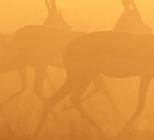 Springbok - African Wildlife Background - Majestic Gold Sticker