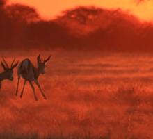 Springbok - African Wildlife Background - Magnificent Sun Sticker