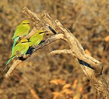 Bee-eater - African Wild Birds - Colorful Friends by LivingWild