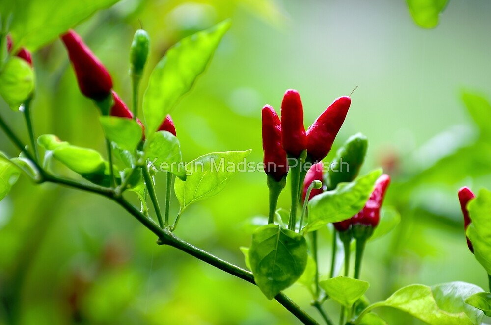 Bird's Eye Hot Chilli Love  by Kerryn Madsen-Pietsch