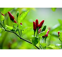 Bird's Eye Hot Chilli Love  Photographic Print