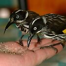 Honeyeaters pigging out by Penny Smith