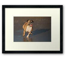 Staffordshire bull terrier running Framed Print