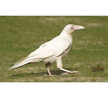 """Dare To Be Different"" (Rare White Raven) Photographic Print"
