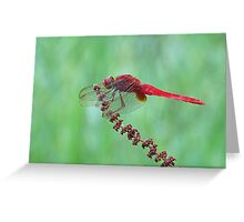 Reticulated Red at Rest Greeting Card