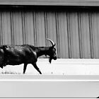 Goat on a hot tin roof by Jean Poulton