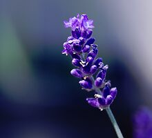 Darling Buds of Lavender by Jean Poulton