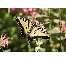 Swallowtail Butterfly 2016-1 Photographic Print
