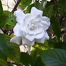 More Gardenia by Ginny Schmidt