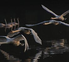 Night Swans No. 4 by kelvinLemur