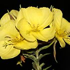 German Evening Primrose by karina5