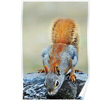 Thirsty Red Squirrel Poster
