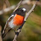Scarlet Robin by Chris Cobern