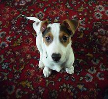 Jack russell puppy by baileydog