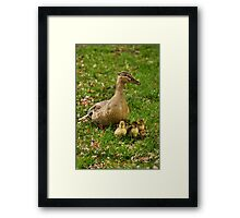 Ducklings & Mother Framed Print