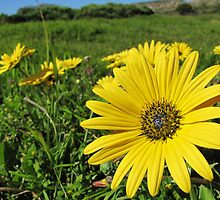 Cape Weed - Daisies in the meadow by Lee Jones