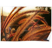 Late Afternoon Sun in the Giant Fountain Grass Poster
