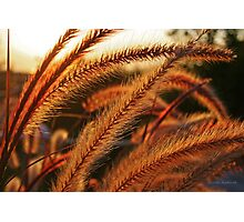 Late Afternoon Sun in the Giant Fountain Grass Photographic Print
