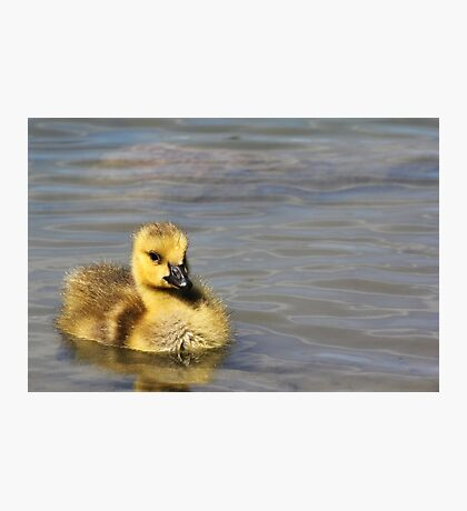 Gosling  Photographic Print