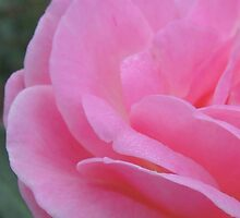 Pink Rose by Byrne28
