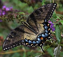Eastern Tiger Swallowtail by Tim Holmes
