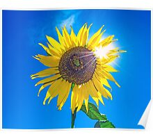 Sunflower at High Noon Poster
