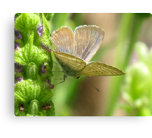 Poised - Long-tailed Pea Blue Butterfly Canvas Print
