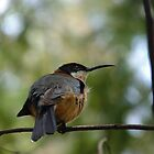 Eastern Spinebill by Meg Hart