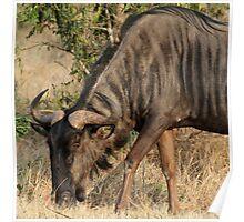 Grazing wildebeest Poster