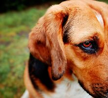 Beagle - Basset Hound Mix by novopics