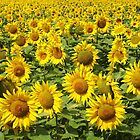 Sunflowers in Charente Maritime by Carol Dumousseau