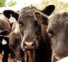 Legendary Cattle by John Walnofer