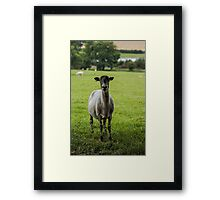 Ewe`s looking Framed Print